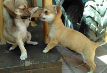 Inzercia psov: Civava na predaj