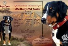 Inzercia psov: Nabízím krytí appenzellský salašnický pes