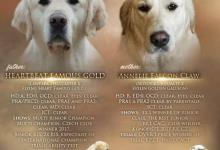Inzercia psov: Přijímáme rezervace na štěňátka zlatého retrievera