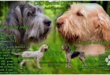 Inzercia psov: Italský spinone