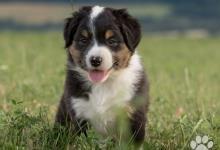 Inzercia psov: Austrálsky ovčiak