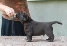 Inzercia psov: Labradorský retriever, čokoládový pejsek s PP