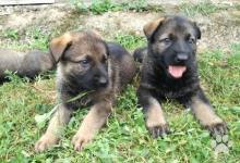Inzercia psov: Nemecký ovčiak šteňa