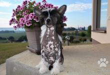 Inzercia psov: Čínský chocholatý pes s PP - nahatý pejsek k odběr