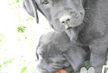 Inzercia psov: Predám fenku labradora