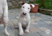 Inzercia psov: Anglický bulterier, bullterrier standard
