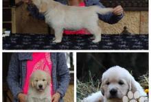 Inzercia psov: Štěňátka golden retrievera s průkazem původu