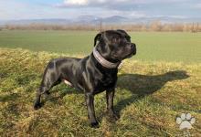 Inzercia psov: Stafordšírsky bulteriér