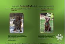 Inzercia psov: Retriever zo zalivu Chesapeake