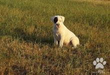 Inzercia psov: Argentinská doga