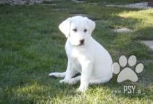 Inzercia psov: Ponúkam na predaj Krásne šteniatka Labradora