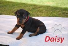 Inzercia psov: nemecký pinč