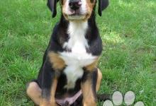 Inzercia psov: Velký šviajčiarsky salašnický pes