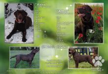 Inzercia psov: Labrador Retriever - šteniatka s PP