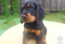 Inzercia psov: Gordon seter - šteniatka s PP - FENKA DO CHOVU !!!