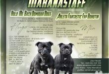 Inzercia psov: Stafordšírský bulteriér TOP