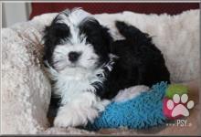 Inzercia psov: Boloňský psík, ruská barevná bolonka