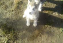 Inzercia psov: Aljašský malamut s PP