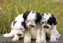 Inzercia psov: Tibetský Teriér