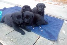 Inzercia psov: Čierny vlčiak