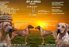 Inzercia psov: Šteniatka Rhodesian Ridgeback S PP