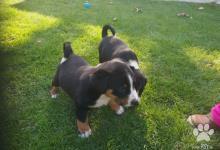 Inzercia psov: Appenzellsky salašnicky pes