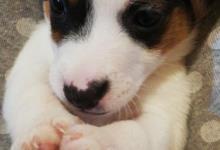 Inzercia psov: šteniatká