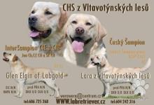 Inzercia psov: Labrador retriever štěňata