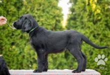 Inzercia psov: Štěně flat coated retrievra k zadání