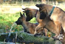 Inzercia psov: šteňatá belgický ovčiak/tervueren