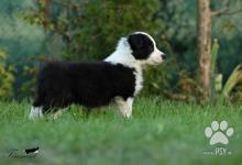 Inzercia psov: Štěňata border kolie s průkazem původu