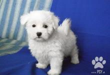 Inzercia psov: krásne maltézske šteniatko
