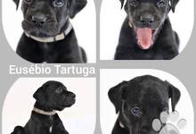 Inzercia psov: Catahoula leopard dog - Louisianský leopardí pes