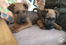 Inzercia psov: Ponúkam šteňatá Írskeho teriera