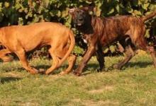Inzercia psov: Tosa inu štěňata s PP odběr možný ihned