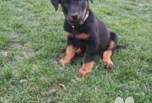 Inzercia psov: Beauceron s průkazem původu