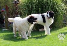 Inzercia psov: Prodám štěně landseera s PP