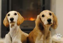 Inzercia psov: Nádherná štěňátka saluki s PP ihned k odběru