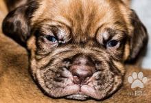 Inzercia psov: Bordeauxská doga - prodej štěňat