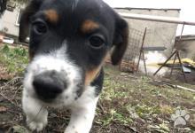 Inzercia psov: Predám šteniatka Jack russell teriér