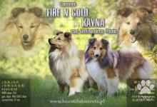 Inzercia psov: Šteniatka sheltie na predaj