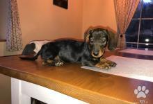 Inzercia psov: Predám šteniatka jazvečíky