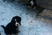 Inzercia psov: Bernský salašnícky pes - 2 psíky