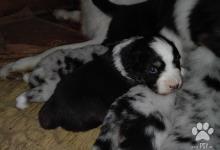 Inzercia psov: Australský ovčák bez PP