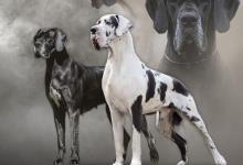 Inzercia psov: Nemecká doga šteniatka s PP
