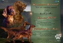 Inzercia psov: írsky setter šteňatá FCI / irish setter puppies