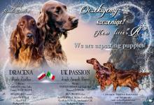 Inzercia psov: írsky setter šteňatá FCI