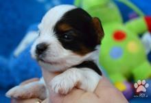 Inzercia psov: Biewer Yorkshire terrier - psík