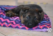 Inzercia psov: Nemecký ovčiak šteniakta