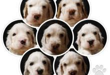 Inzercia psov: Anglicky Setter stenata